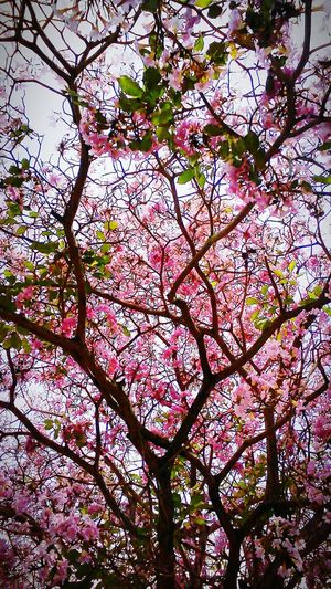 Flower Trees Nature Cherry Blossoms Kota Belud Sabah My Hometown