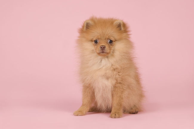 Cute mini spitz puppy dog sitting looking at the camera on a pink background Pomeranian Adorable Adorable Pets Adorable Puppy Colored Background Cute Cute Puppy Looking At Camera Mini Spitz One Animal Pets Pink Background Pink Color Pomeranian Puppy Puppy Sitting Studio Shot Young Animal