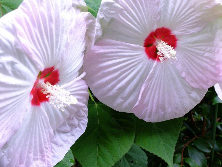 Flowers 芙蓉 FujiFilm X20