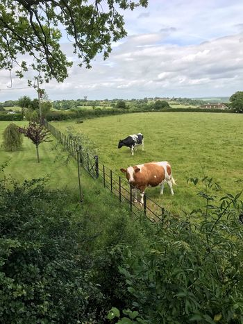 Perspectives On Nature Animal Themes Green Color Domestic Animals Mammal Grass Field Nature Tree Livestock Grazing Tranquil Scene No People Sky Landscape Day Tranquility Beauty In Nature Outdoors Growth Standing Cow Cows In A Field Cows Cows Grazing
