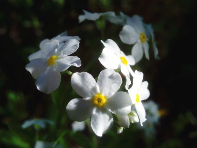 Nature's Diversities Forget Me Nots Forget Me Not Blossoms Blossoming  Blossom Flowers White Flowers Sunshine In Flowers Things I Like Simple Beauty Macro_collection Macro Macro Photography Close Up Nature Nature_collection