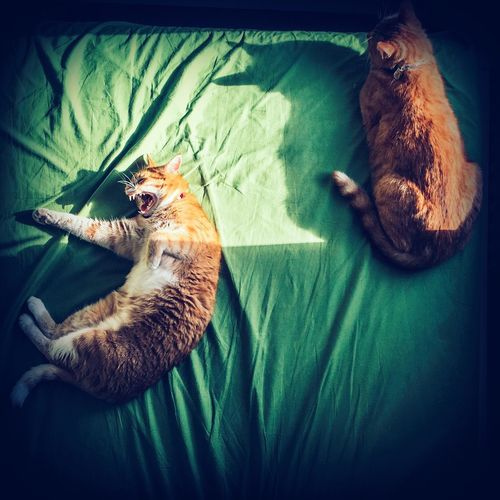 Directly Above View Of Ginger Cats Sleeping On Bed At Home