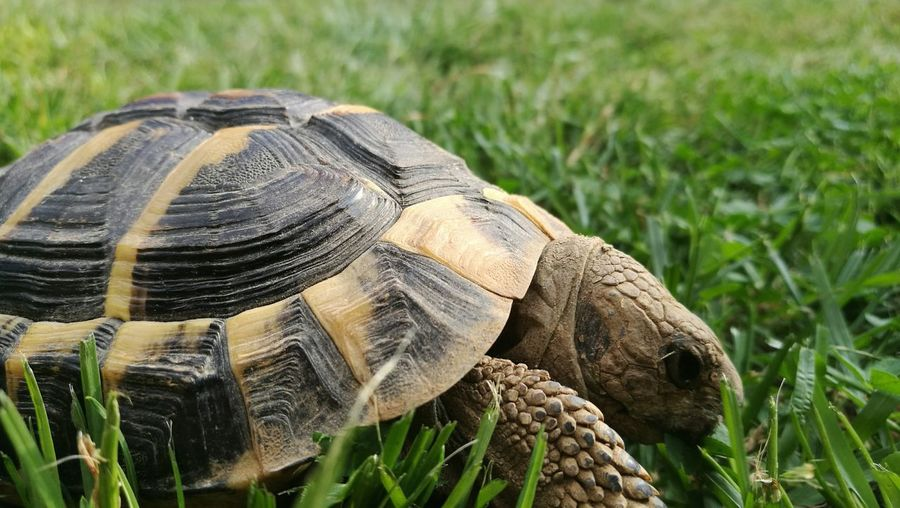 Tortoise... Tortoise Focus On Foreground Close-up Nature Outdoors Grass No People Day Animal Themes Hermann's Tortoise Shell Tortoise Shell Shelled Warrior Garden