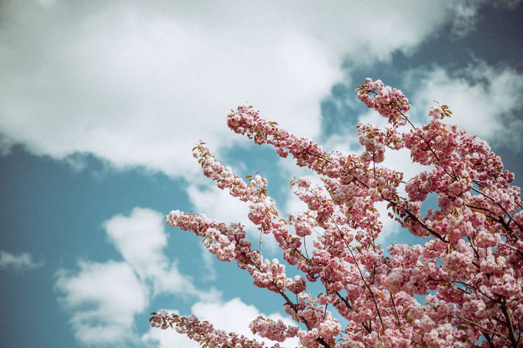 Beauty In Nature Blooming Blossom Botany Branch Cherry Blossoms Cherryblossoms Close-up Cloud Cloud - Sky Day Flower Flowers In Bloom Low Angle View Nature No People Outdoors Pink Color Retro Sky Tranquility Traveling Tree Vintage