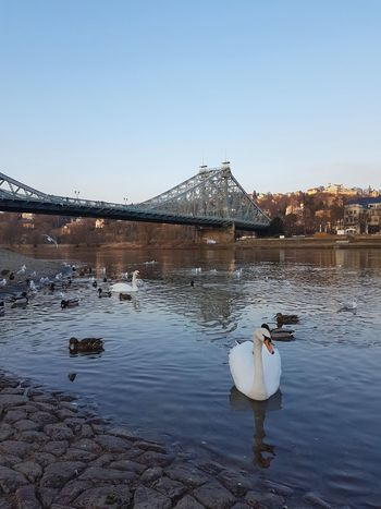 Water Waterfront Water Reflections Swans Bridge - Man Made Structure Bridges Animals In The Wild Animal Wildlife Water Sky Reflection Outdoors Bridge - Man Made Structure Swimming Lake Travel Destinations Day No People Clear Sky Nature Bird Animal Themes Swan
