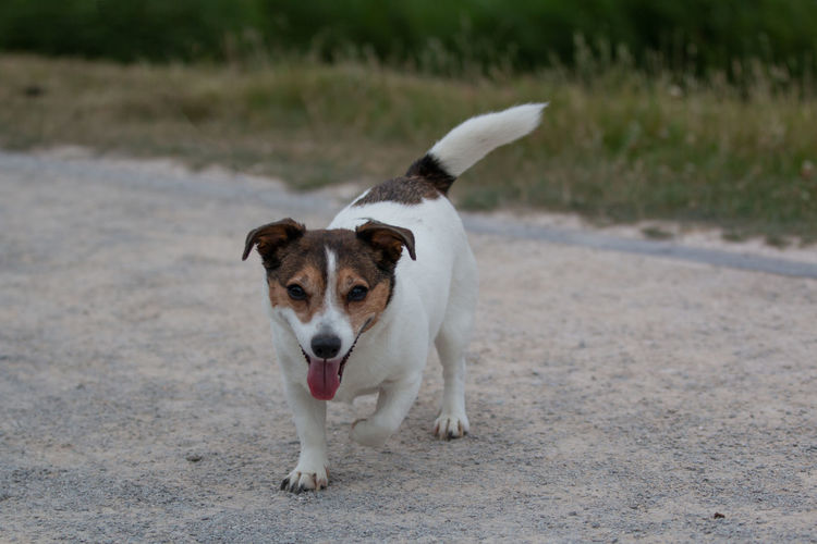 Spaziergang am Phönixsee Bella Pottpic Tiere Tierfotografie Dog Hunde Hundefotografie Jack Russell Terrier Jackrusselterrier Looking At Camera Mouth Open No People One Animal Pets Standing