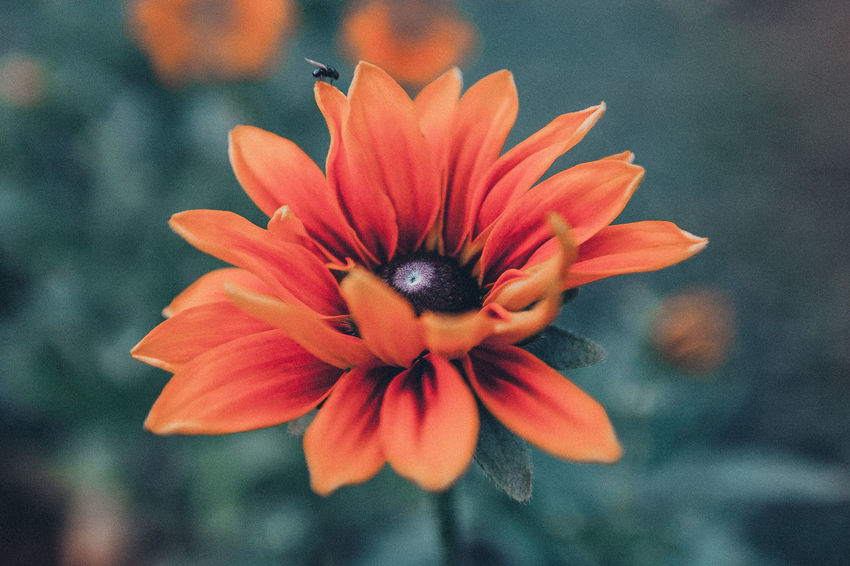 Red autumn flower, close-up, macro Filter Red Beauty In Nature Close-up Day Flower Flower Head Flowering Plant Freshness Gazania Inflorescence Nature No People Orange Orange Color Outdoors Petal