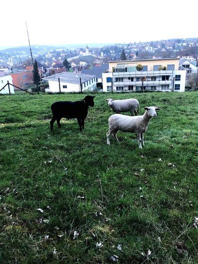 Sheep city life