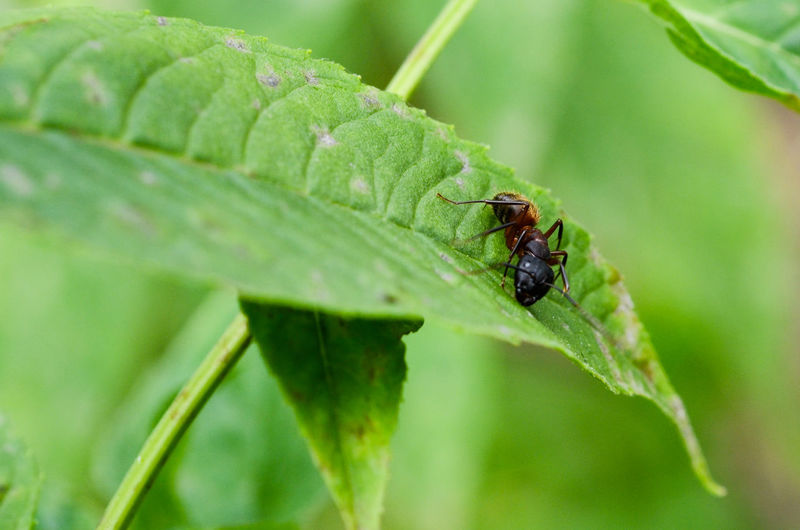 Close-up of ant on green leaf