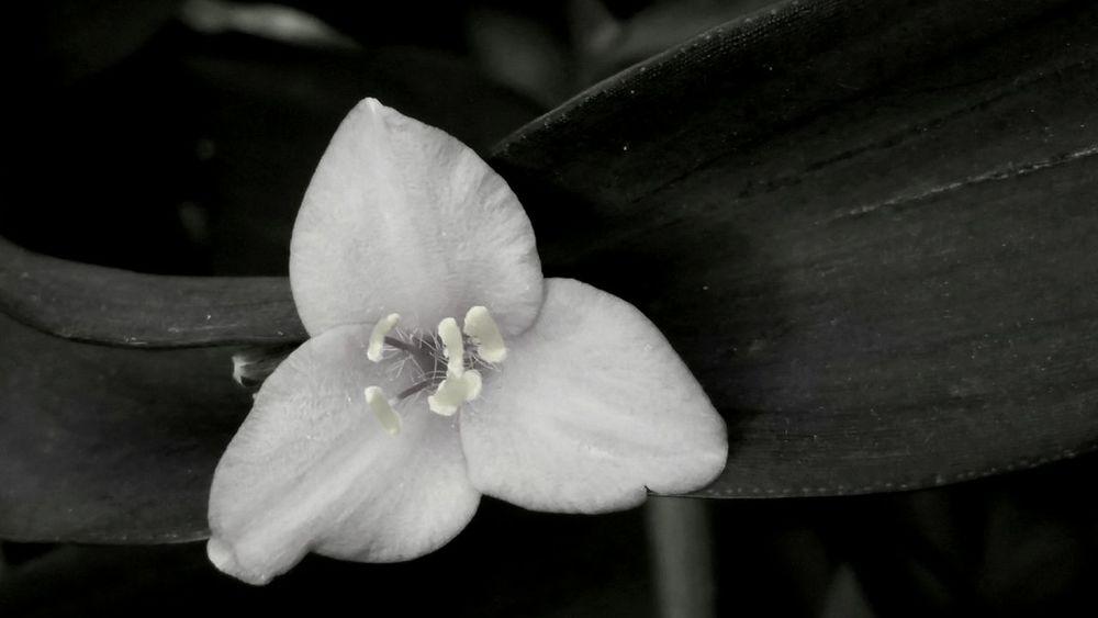 Flower Close-up Spiderwort Black And White Photography Nature In Black & White Black And White Friday