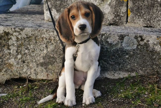 Looking At Camera Pets Domestic Animals Portrait Dog One Animal Puppy Outdoors Beagle Beaglelovers Beaglelife Beaglepuppy