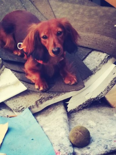 ? Dog Animal Cute Dackel