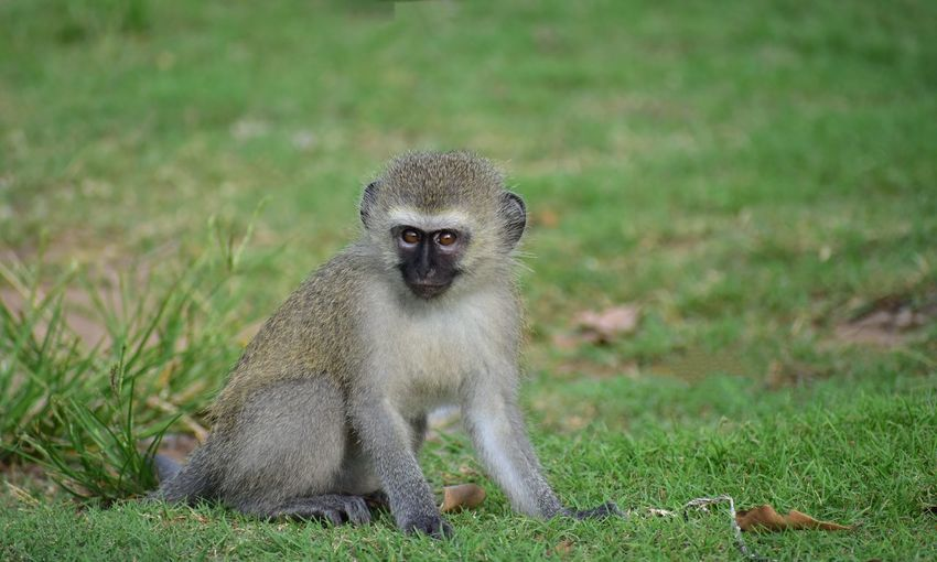 Baby Vervet Monkey Wildlife Wildlife & Nature Animals In The Wild Wildlife Photography Vervet Monkey EyeEm Selects Portrait Closing Looking At Camera Grass Close-up Primate Monkey Infant Animal Eye Yellow Eyes Tail Ape