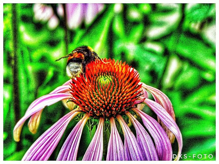 Sweden The True Story Summer Exploratorium The Great Outdoors - 2018 EyeEm Awards Flower Head Flower Petal Eastern Purple Coneflower Insect Close-up Animal Themes Blooming Plant