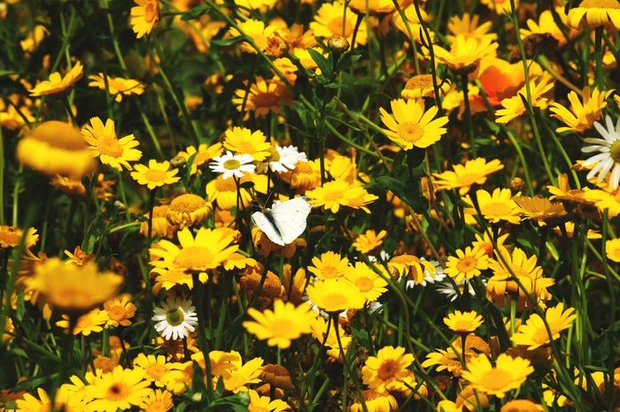Spot the butterfly Flower Yellow Petal Fragility Nature Growth Beauty In Nature Freshness Flower Head Plant Field Blooming Outdoors Day No People Summer Flowerbed Black-eyed Susan Close-up Crocus Butterfly Summertime