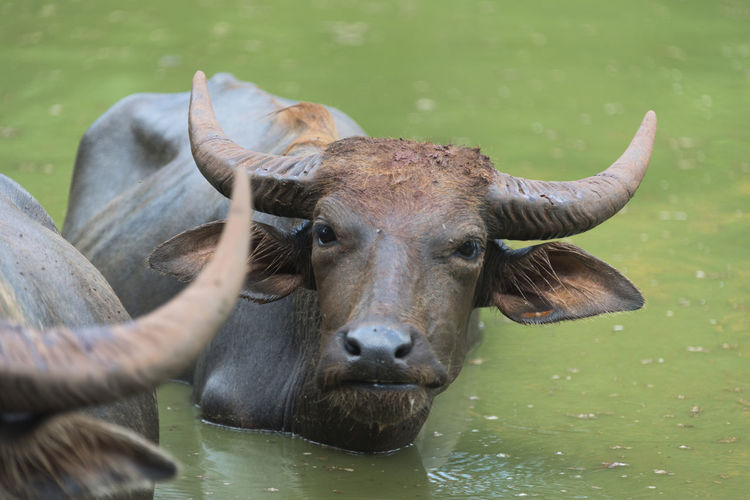 Animal Themes Buffalo Cattle Close-up Cow Day Domestic Animals Grass Horned Lake Livestock Mammal Nature No People One Animal Outdoors Portrait Water Water Buffalo