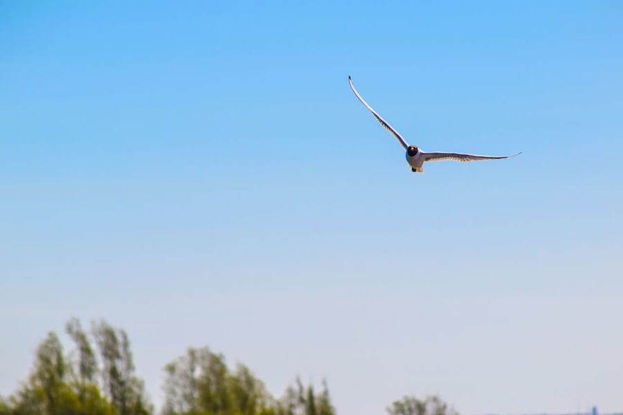 Llanelli Wetland Centre Animal Animal Themes Animal Wildlife Animals In The Wild Bird Black Headed Gull Blue Clear Sky Copy Space Day Flying Gull Llanelli Low Angle View Mid-air Nature No People One Animal Outdoors Plant Sky Spread Wings Tree Vertebrate