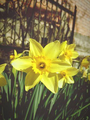 #Georgia #photobyme #flower#garden#nature#ecuador#santodomingoecuador#eyeEmfollowers#iphoneonly#nofiltrer#macro_garden#pretty#beautiful#followme#sho #springflowers #March #yellow #flowers #photography #MobilePhotography #huaweiphotography #AnnGreeny First Eyeem Photo