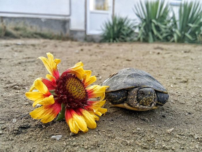 And he is very photogenic! But still I will not hide that I made him take pictures 😘EyeEmNewHere Myturtle One Animal Nature No People Flower Lovelovelovelove