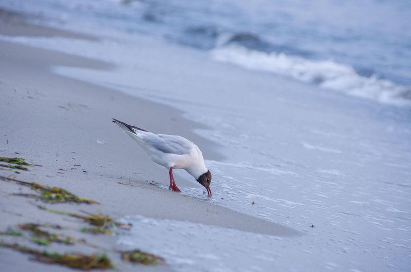 Black-Headed Gull At Beach
