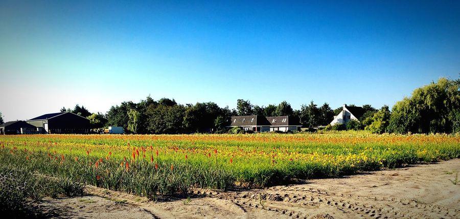 Flower fields in Noorwijk Flower Fields Flowers Noordwijk Blue Sky Nederlands