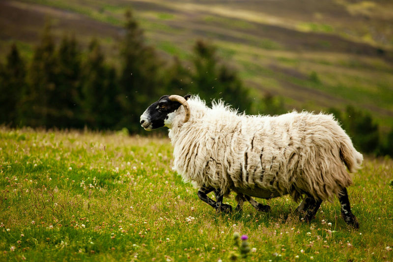 Livestock Sheep Domestic Animals Animal Themes Grass One Animal Field Animal Lamb Agriculture Outdoors Nature Beauty In Nature Mammal Flock Of Sheep Scotland