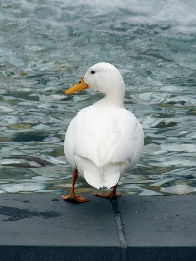 Animal Themes Animal Wildlife Animals In The Wild Bird Close-up Day Duck Nature No People One Animal Outdoors Perching Water White Bird White Color White Duck