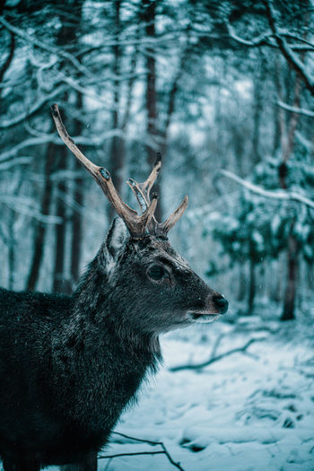 Deer on snow covered land