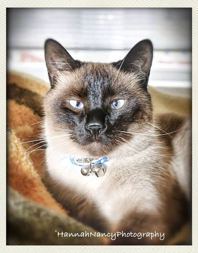 Wonhglück Animals Eye4photography Siamese Cat Ziam is part of our family. Animal Portraiture