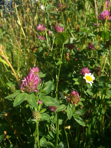 Flower Clover Clover Flower Nature Beauty In Nature Outdoors Flowers Meadow Field Wildflowers Growth Day Fragility Plant Pink Color Green Color Close-up Close Up Close Up Flowers Plants And Flowers Smartphone Photography Sunny Day Summertime Summer Sunshine