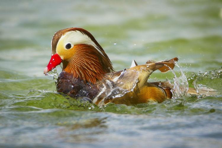 Close-Up Of Mandarin Duck In Lake