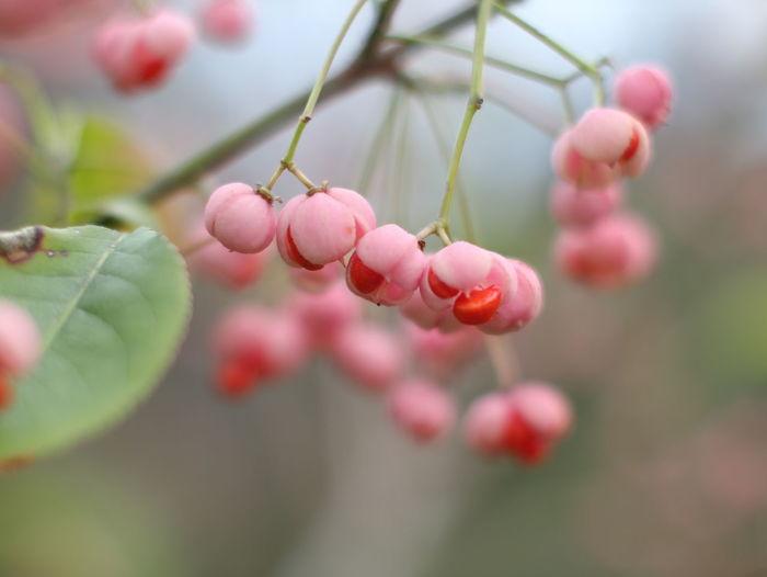 マユミ Nikkor S Pink Color EyeEm Selects Flower Close-up Plant Sky