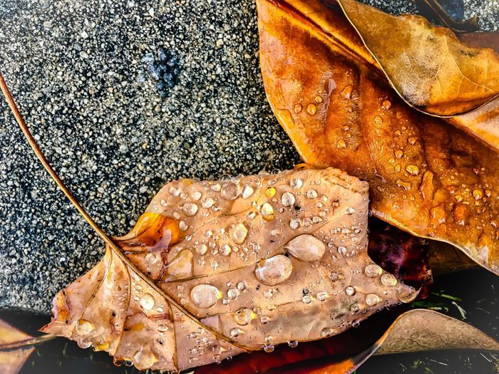 Wet folded autumn leaves with rain drops Leaf Dry Autumn Directly Above Nature Outdoors No People Close-up Food Day Freshness Dying Leaves Two Leaves Veins In Leaves Drops Of Water On Leaves Endings & Beginnings Outdoor Photography Beauty In Nature EyeEmNewHere Textures And Surfaces Fall Leaves Pavement EyeEmNewHere Perspectives On Nature