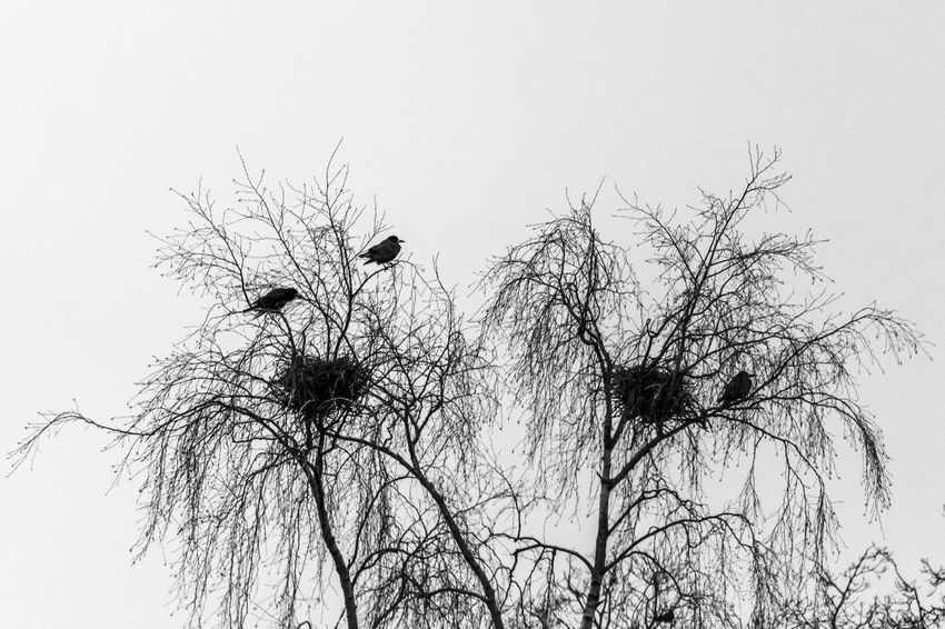 Birds nesting. Animal Themes Animals In The Wild Bare Tree Beauty In Nature Bird Branch Clear Sky Low Angle View Nature Outdoors Silhouette Sky Tree Wildlife