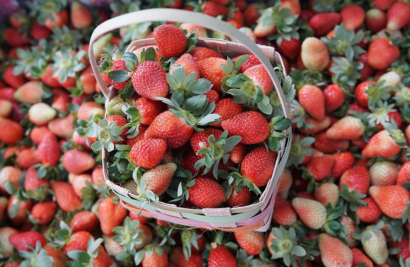 Strawberry harvest, Philippines. Strawberry Berries We Pick Em Eyemcaptured Flowers,Plants & Garden Strawberryfarm Fresh On Market April 2016