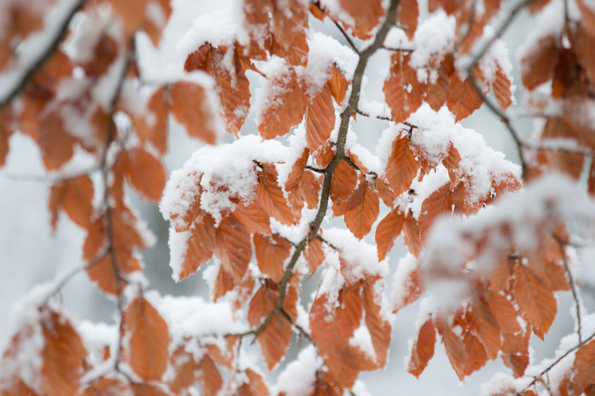 Beauty In Nature Beech Leaves With Snow Branch Close-up Cold Temperature Day Fragility Frozen Ice Nature No People Outdoors Sky Snow Tranquility Tree Weather White Color Winter