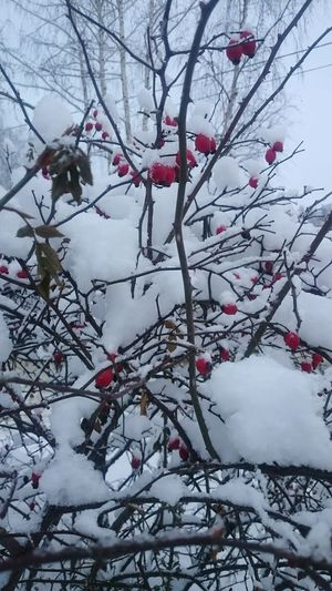 Winter Cold Temperature Tree Red Nature Snow Weather Beauty In Nature Frozen Outdoors снег❄ белый красный зима Winter Winter_collection