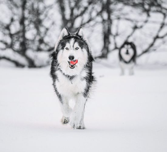 Snow Dogs Husky Huskyphotography Winter Wintertime Dog Dogs Syberian Husky Forest Animal Animal Wildlife Traveling Animals In The Wild Wolf Travel Snow Portrait Cold Temperature Snowflake Winter Representing Tree Snowing Close-up Siberian Husky Dog Lead Pet Collar