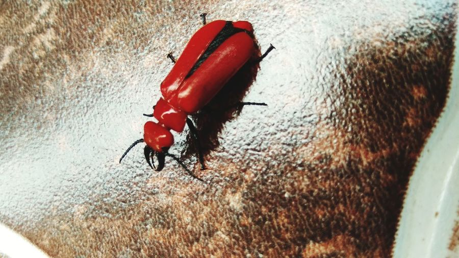 Red Flat Bark Beetle - Cucujus clavipes, Bugs Red Insect Animal Themes Close-up Animal Antenna