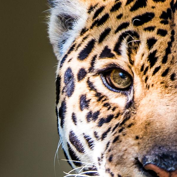 Re post; removed watermark. EyeEm Nature Lover EyeEm Best Shots Portrait Animals Leopard EyeEm Best Shots - Nature