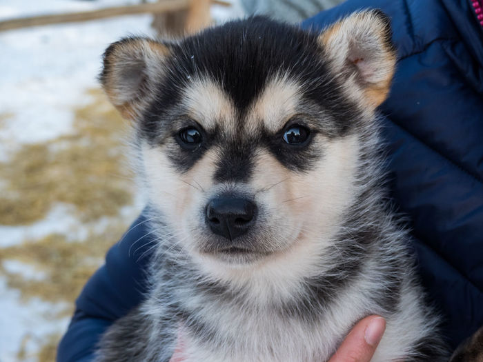 Animal Photography Animal Portrait Animal Themes Canada Close-up Cold Temperature Cold Temperture Day Dog Domestic Animals Looking At Camera One Animal Outdoors Pets Portrait Puppy Sled Dog Wilderness Adventure Wildernessculture Young Animal Yukon Territory