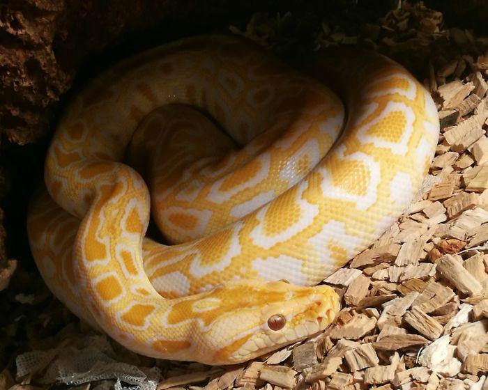 Serenity Burmese Python Baby Snake