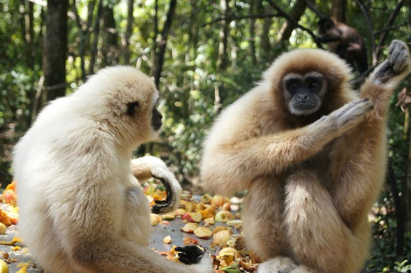 charades. Gibbon Trees And Nature Nature Animals Monkeyland Southafrica South Africa Travel Adventure Charades Communication Tree Lemur Eating Togetherness Baboon Sitting Forest Close-up Primate Monkey