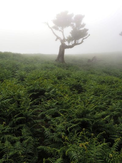 Fog Tree Nature Landscape Day Outdoors Tranquility No People Mist Growth Beauty In Nature Sky Scenics Plant Lone Branch Hazy  Fanal, Southern, Atlantic, Coast, Europe, Forest, Harbor, Holyday, Islands, Laurel Tree, Madeira, Mountain, Ocean, Outdoor, Paradise, Plateau, Portugal, Seascape, Summer, Tourism, Travel, Tree, Tropical Madeira Island Madeira Landscape_Collection Hiking