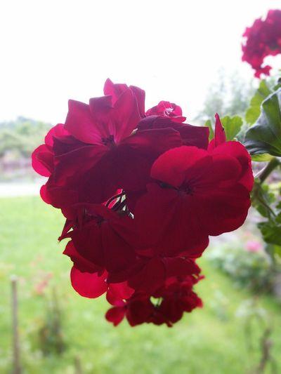 Flowers Romania