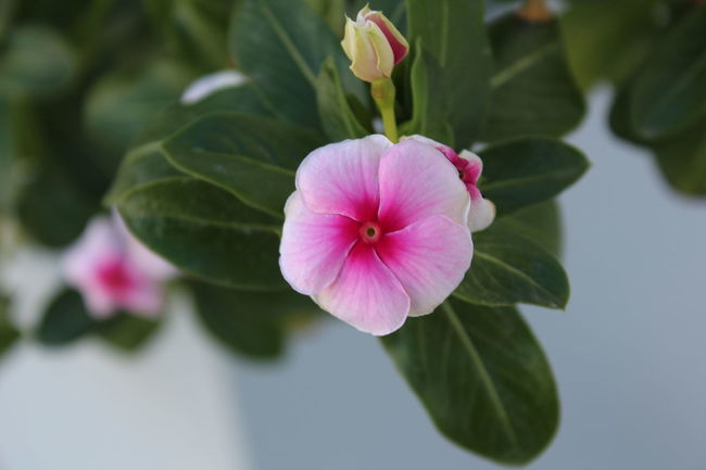 Chemistart Beauty In Nature Blooming Close-up Day Flower Flower Head Fragility Freshness Green Color Growth Leaf Nature No People Outdoors Periwinkle Petal Pink Color Plant