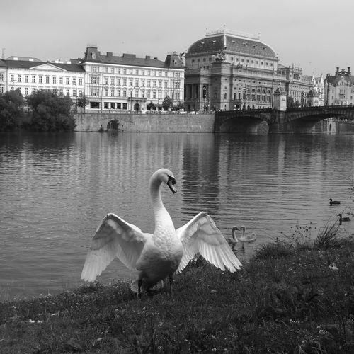 Swan Swan River River Blackandwhite Black And White Architecture Prague Prague Czech Republic Animal Animal Wildlife Animal Photography Animal_collection HuaweiP9 Huaweiphotography Leicap9