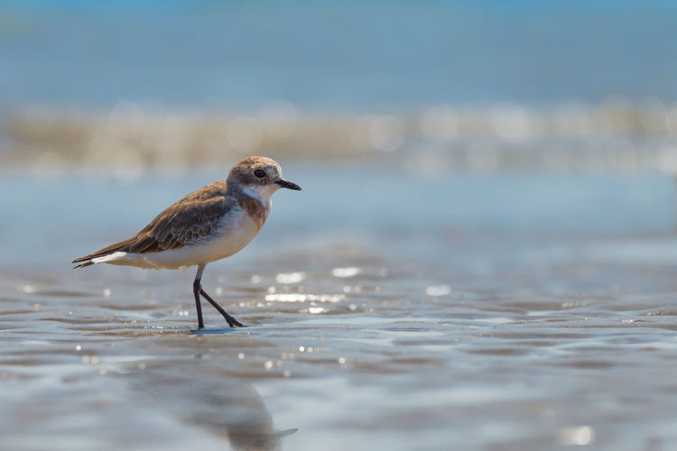 Piping plover perching on shore at beach