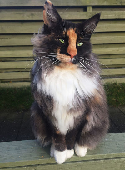 Norwegian forest cat with green eyes Beautiful Norwegian Forestcat  Turtle Three Color Adorable Animal Themes Cat Cat Eyes Close-up Colorful Cute Day Domestic Animals Domestic Cat Feline Fur Furry Green Eyes Mammal No People Norwegian Forest Cat One Animal Outdoors Pets Sitting Whisker