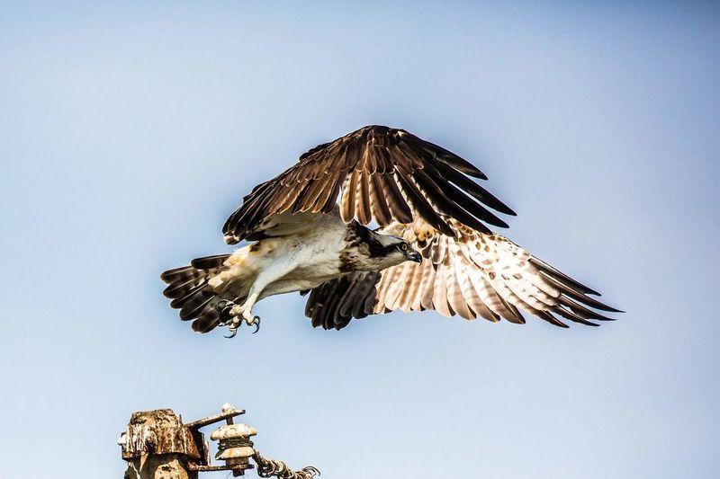 Showcase: January Bird Photography Inflight Osprey